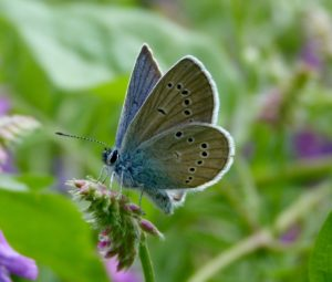 marazine blue butterfly